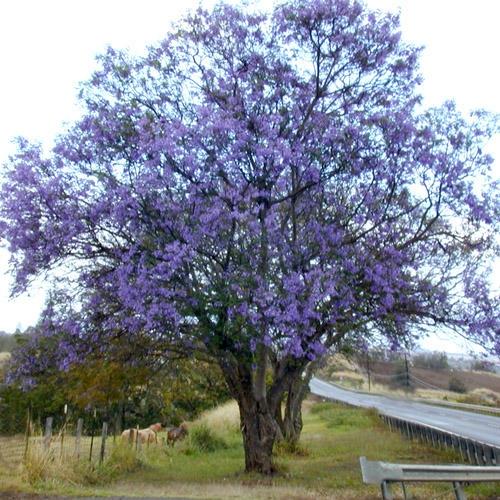 Trees agro comercial e servi os ltda for Planta ornamental jacaranda